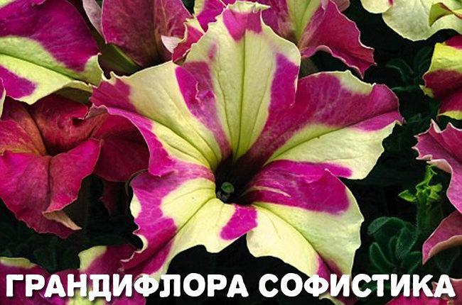 Фото петуний с названиями сортов