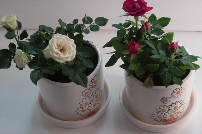 Если роза не цветет в домашних условиях 575