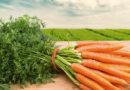 Посадка моркови весной в открытый грунт семенами. Лучшие сорта и способы посадки