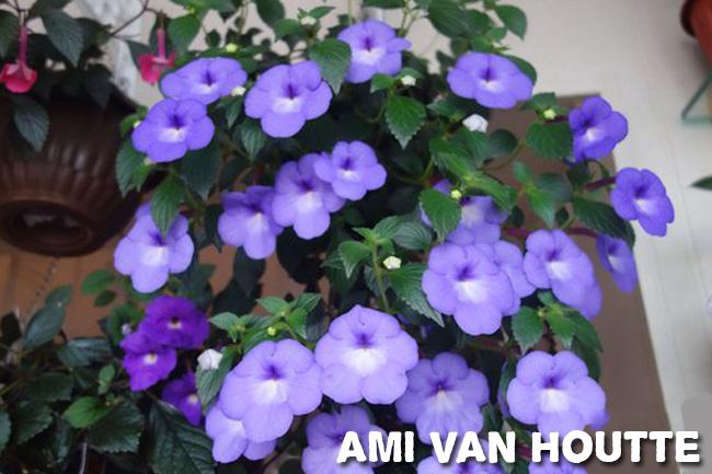 Ахименес уход и выращивание в домашних условиях
