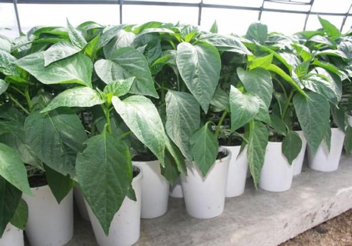 Скручивание листьев от температуры