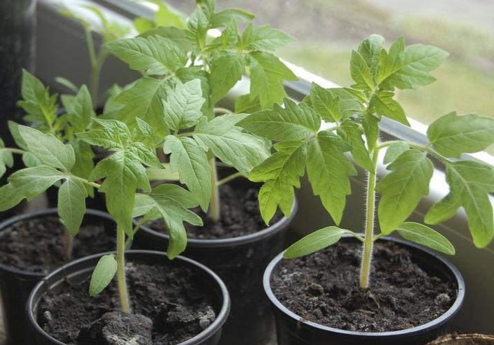 Как и чем полить рассаду помидор чтобы лучше росла