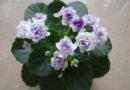 Размножение фиалок в домашних условиях: укореняем листья фиалки