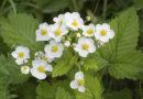 Подкормка клубники во время цветения и плодоношения. Чем подкормить клубнику для хорошего урожая