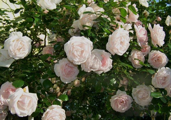 Плетистая роза посадка и уход