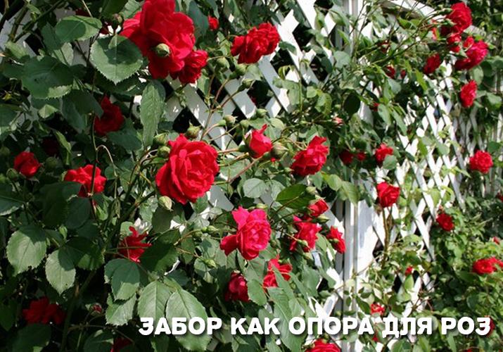 Плетистая роза посадка и уход опора