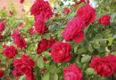 Плетистая роза посадка и уход. Как посадить розы летом в грунт