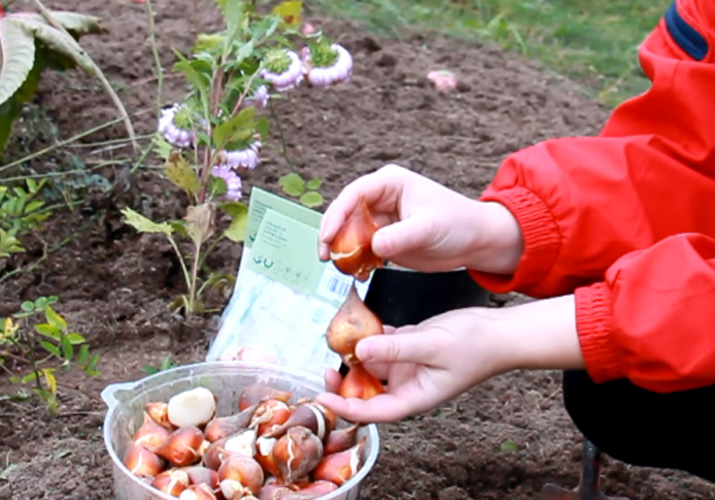 правило посадки луковиц тюльпанов