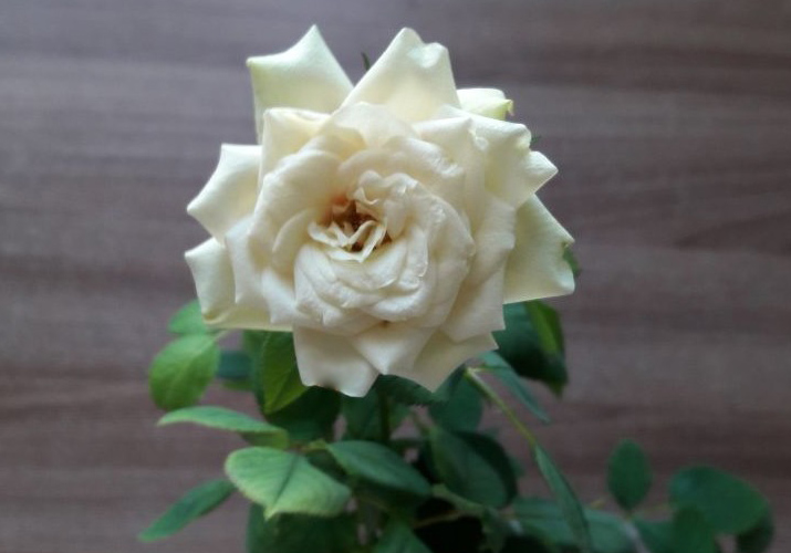 как спасти розу из магазина