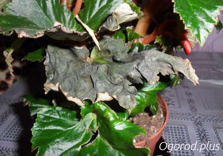сохнут листья у бегонии элатиор