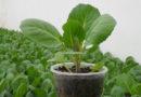 Рассада капусты из семян в домашних условиях — самые лучшие и проверенные способы посадки