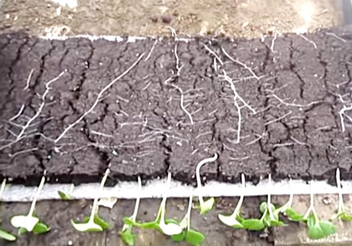 Рассада капусты в улитках