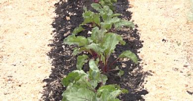 Посадка свеклы семенами в открытый грунт весной. Лучшие семена и сорта свеклы для открытого грунта.