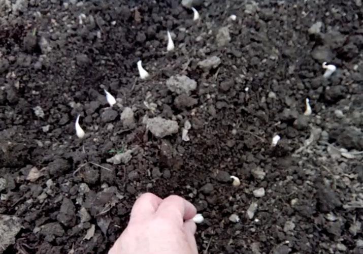 посадка ярового чеснока