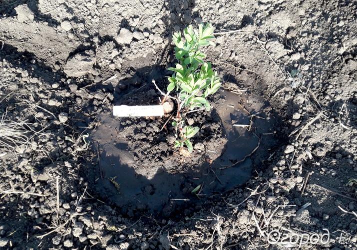 Как посадить жимолость весной саженцами