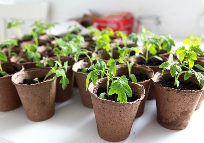 томаты в торфяных горшочках