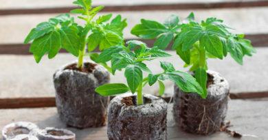 Рассада помидоров в домашних условиях — посев, выращивание и уход