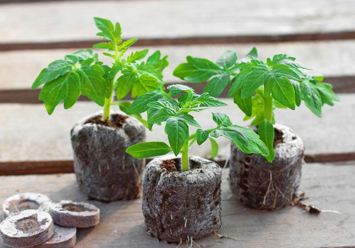 рассада томатов в таблетках